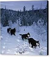 Huskie Pups Out For A Run In The Snow Canvas Print by Paul Nicklen