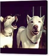 Husky Dogs Canvas Print by Photography by Brandon Shepherd
