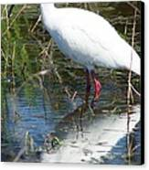 Ibis At Local Pond 2 Canvas Print by Lynda Dawson-Youngclaus