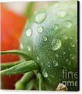 Immature Tomatoes Canvas Print by Sami Sarkis