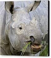 Indian Rhinoceros Grazing Kaziranga Canvas Print by Suzi Eszterhas