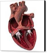 Internal Heart Anatomy, Artwork Canvas Print by Claus Lunau