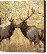 Junior Meets Bull Elk Canvas Print by Robert Frederick