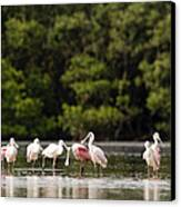 Juvenile And Adult Roseate Spoonbills Canvas Print by Tim Laman
