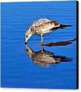 Juvenile Ring-billed Gull  Canvas Print by Tony Beck