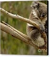 Koala At Work Canvas Print by Bob Christopher