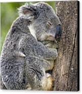 Koala Phascolarctos Cinereus Sleeping Canvas Print by Pete Oxford