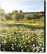 Landscape With Daisies Canvas Print by Carlos Caetano