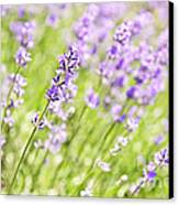 Lavender Blooming In A Garden Canvas Print by Elena Elisseeva