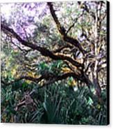 Live Oak Canvas Print by Christy Usilton