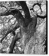 Live Oak Canvas Print by Waverley Dixon