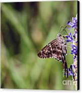Long-tailed Skipper Butterfly Canvas Print by Cindy Bryant