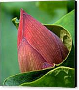 Lotus Bud--bud In A Blanket Dl049 Canvas Print by Gerry Gantt