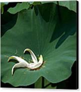 Lotus Leaf--castoff IIi Dl060 Canvas Print by Gerry Gantt
