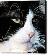 Maine Coon Face Canvas Print by Michelle Milano