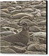 Male Elephant Seal Barking Amidst Canvas Print by Robert Postma