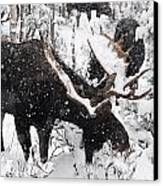 Male Moose Grazing In Snowy Forest Canvas Print by Philippe Henry