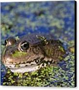 Marsh Frog Canvas Print by Louise Murray