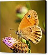 Meadow Brown Butterfly  Canvas Print by Elena Elisseeva