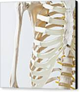 Midsection Of An Anatomical Skeleton Model Canvas Print by Rachel de Joode