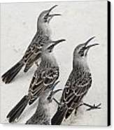 Mockingbirds Mimidae Galapagos, Equador Canvas Print by Keith Levit