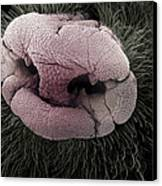 Mole Nose, Sem Canvas Print by Steve Gschmeissner