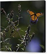 Monarch In Morning Light Canvas Print by Rob Travis