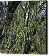 Moss Covered Trees Canvas Print by Garry Gay