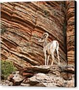 Mountain Goat Canvas Print by Jane Rix