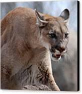 Mountain Lion Canvas Print by Paul Ward