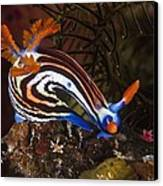 Nudibranch Canvas Print by Matthew Oldfield