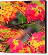 October Maple Canvas Print by Mandi Howard