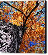 Old Elm Tree In The Fall Canvas Print by Elena Elisseeva