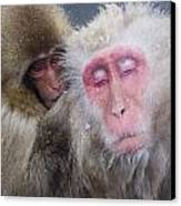 Older Snow Monkey Being Groomed By A Canvas Print by Natural Selection Anita Weiner