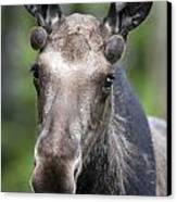 One Year Old Bull Moose With Growing Canvas Print by Philippe Henry