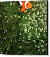 Orange Fish With Yellow Stripe Canvas Print by Perry L Aragon