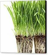 Organic Wheat Grass On White Canvas Print by Sandra Cunningham