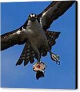 Osprey In Flight Canvas Print by Paul Marto