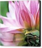 Pacific Tree Frog In A Dahlia Flower Canvas Print by David Nunuk