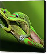 Pair Of Mating Green Geckos Canvas Print by Pete Orelup