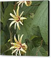 Passionflower Canvas Print by Archie Young