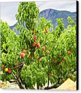 Peaches On Tree Canvas Print by Elena Elisseeva