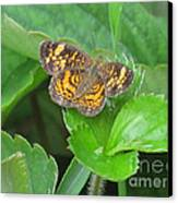 Pearl Crescent Butterfly Canvas Print by Randi Shenkman