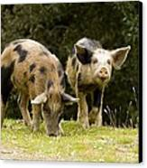 Piglets Foraging In Woodland Canvas Print by Bob Gibbons
