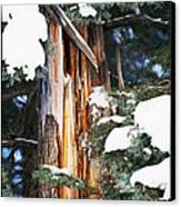 Pine Bark Canvas Print by Lisa  Spencer