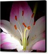 Pink And White Lily Canvas Print by David Patterson