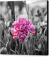 Pink Carnation Canvas Print by Sumit Mehndiratta