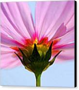 Pink Cosmos Canvas Print by Rich Franco