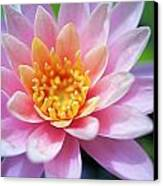 Pink Water Lily Canvas Print by Kicka Witte