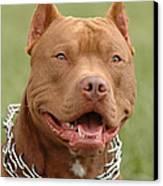 Pitbull Red Nose Dog Portrait Canvas Print by Waldek Dabrowski